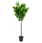 Kunstpuu LEMON, H145cm, sidrunipuu, must pott